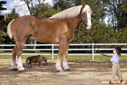 tallest-smallest-horse